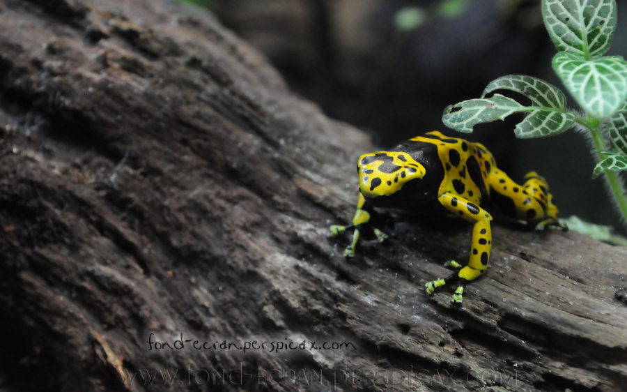Dendrobates leucomelas Zoo London.