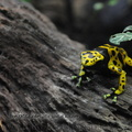 <h1><i>Dendrobates leucomelas</i> Zoo London.</h1>